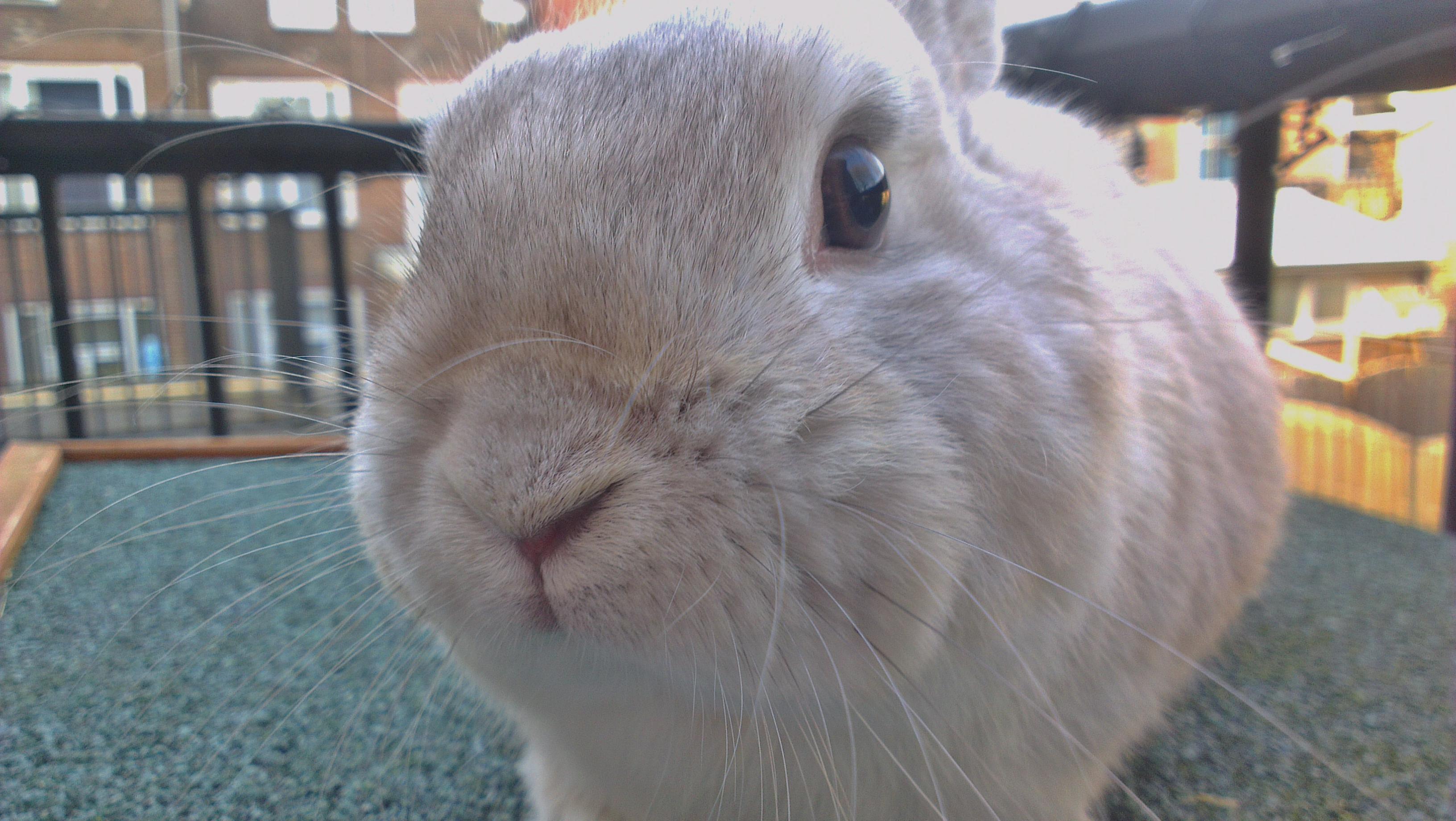 Het Gorlaeus-konijn