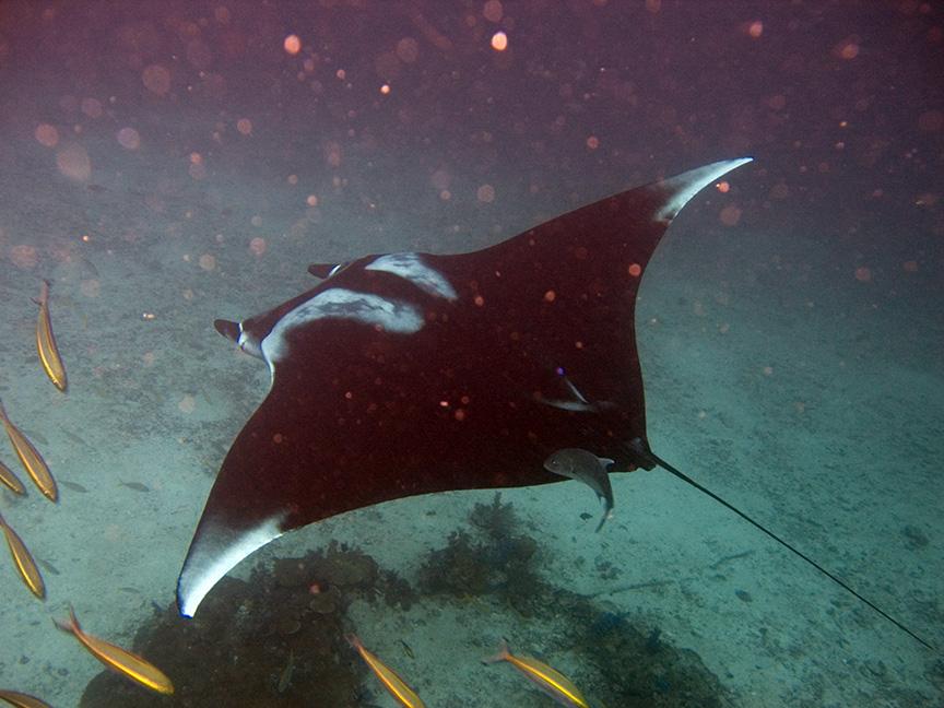 Galapagos avontuur II: Op zoek naar de manta