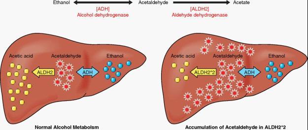 Visuele beschrijving hoe alcohol wordt afgebroken in de lever.