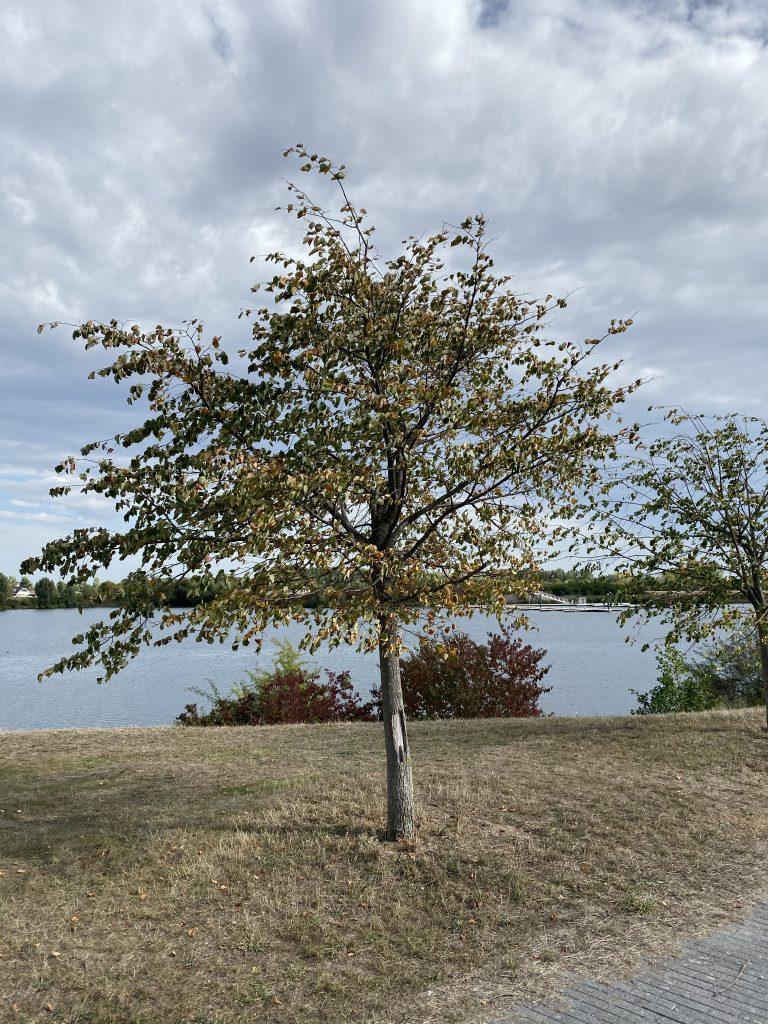 Een boom voor een meertje.